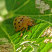 Photo Hunt List #14: Insect--Mexican Bean Beetle