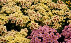 Chrysanthemum 2005