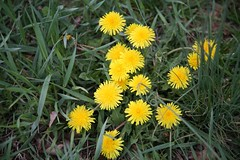 annual plant, prairie, dandelion, flower, yellow, plant, sow thistles, flatweed, herb, wildflower, flora, meadow,