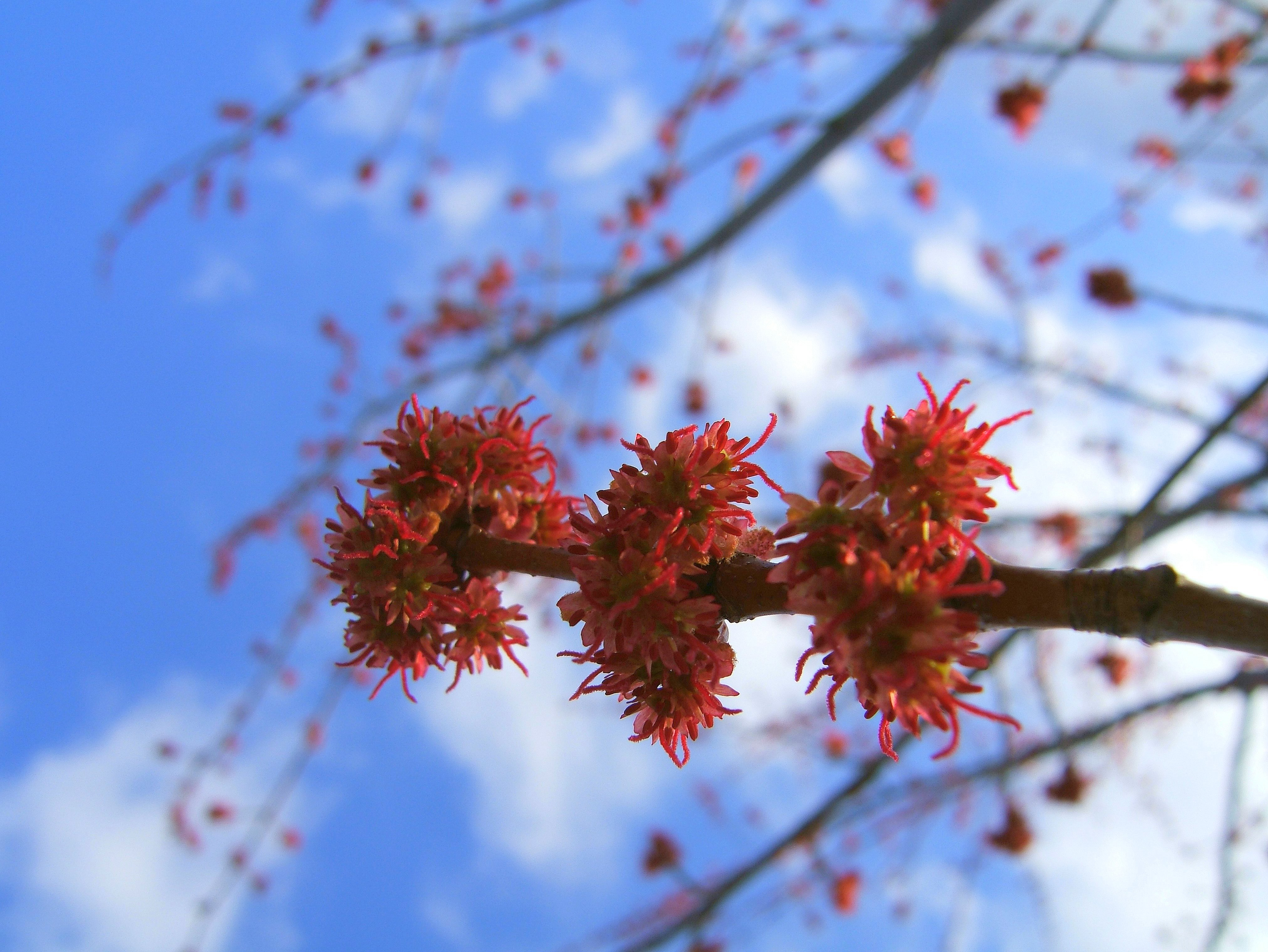 Maple Tree Buds Flickr Photo Sharing