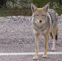 animal, canis lupus tundrarum, czechoslovakian wolfdog, gray wolf, red wolf, mammal, tamaskan dog, fauna, wolfdog, saarloos wolfdog, coyote, wildlife,