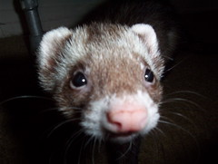mink(0.0), nose(1.0), animal(1.0), weasel(1.0), mustelidae(1.0), mammal(1.0), fauna(1.0), polecat(1.0), whiskers(1.0), ferret(1.0),