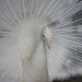 Small photo of Albino Peacock