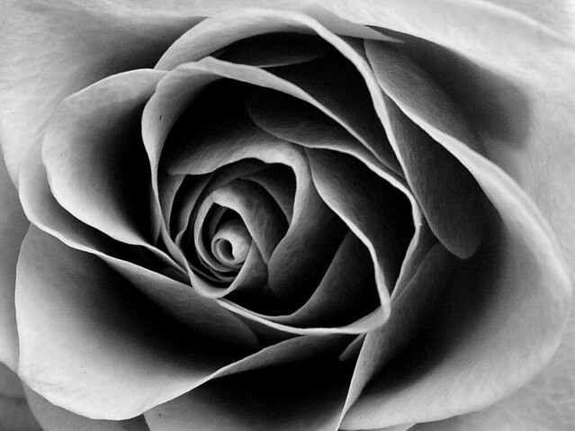 Rose in Black and White | Flickr - Photo Sharing!: flickr.com/photos/auntiep/2262680