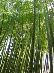 bamboo tops two