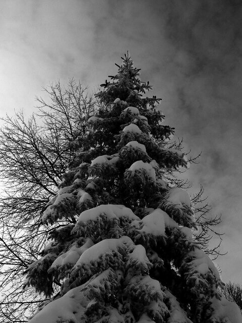 pine tree snow bw, Panasonic DMC-LC5