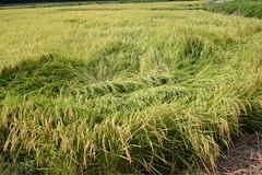 prairie, agriculture, field, grass, plant, chrysopogon zizanioides, paddy field, crop, meadow, grassland,