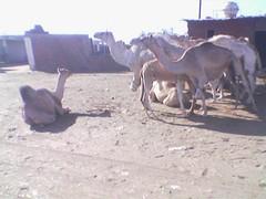 Antisocial camel