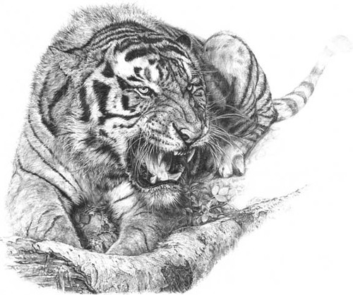 Tiger drawing Flickr Photo Sharing