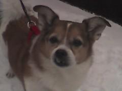 dog breed, animal, dog, pet, carnivoran, welsh corgi,