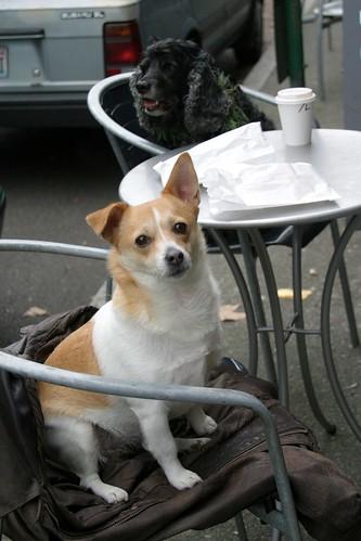 Dogs having coffee, Seattle