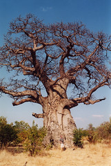 branch, soil, tree, plant, adansonia, savanna,