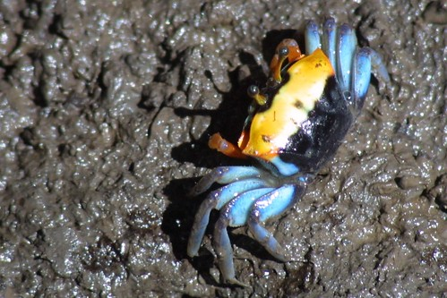Mangrove Crab by webmink