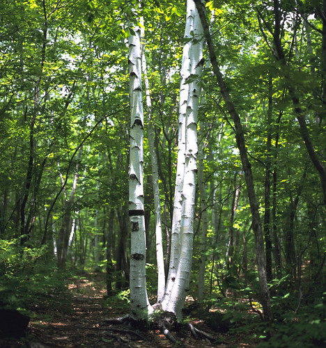 Birch in Kamikochi