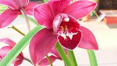 amaryllis belladonna(0.0), flower(1.0), plant(1.0), orchid family(1.0), pink(1.0), petal(1.0),
