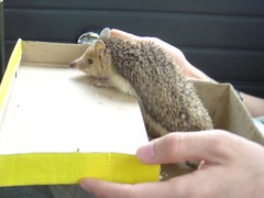 squirrel(0.0), mouse(0.0), chipmunk(0.0), animal(1.0), hedgehog(1.0), rat(1.0), rodent(1.0), erinaceidae(1.0), fauna(1.0),