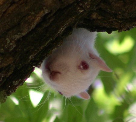 The University Of North Texas' Albino Squirrel IV