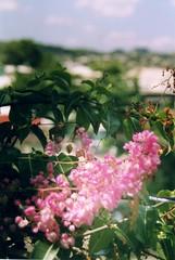 Antigua - Pink flower