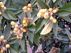 evergreen, leaf, tree, plant, flora, fruit, loquat,