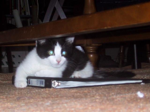 Bindarrr Kitten