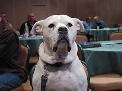 old english bulldog(0.0), british bulldogs(0.0), olde english bulldogge(0.0), toy bulldog(0.0), american bulldog(0.0), dog breed(1.0), animal(1.0), dog(1.0), dogo argentino(1.0), pet(1.0), mammal(1.0), bulldog(1.0),