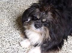 dog breed, animal, dog, schnoodle, pet, lã¶wchen, tibetan terrier, bolonka, havanese, lhasa apso, morkie, chinese imperial dog, affenpinscher, carnivoran,