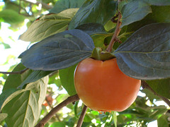 branch, common persimmon, fruit,