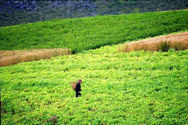 tea plantation, yunnan
