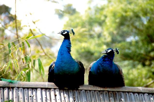 peacocks at gulang yu island ...