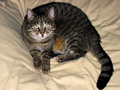 animal, tabby cat, toyger, small to medium-sized cats, pet, mammal, european shorthair, pixie-bob, american shorthair, cat, whiskers, domestic short-haired cat,