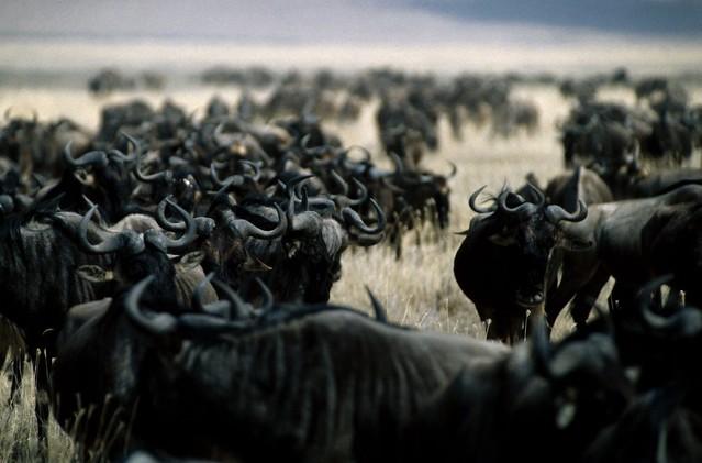Ñúes en el cráter del Ngorongoro.