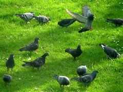 crow(0.0), animal(1.0), grass(1.0), fauna(1.0), stock dove(1.0), bird(1.0), wildlife(1.0),