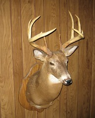 animal, antler, deer, horn, fauna, reindeer,