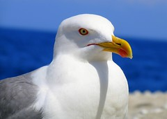 puffin(0.0), albatross(0.0), animal(1.0), charadriiformes(1.0), fauna(1.0), close-up(1.0), great black-backed gull(1.0), european herring gull(1.0), beak(1.0), bird(1.0),