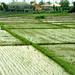 the vanishing space of ricefield