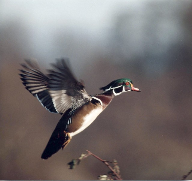 Male Wood Duck Flying | Flickr - Photo Sharing! Wood Ducks Flying