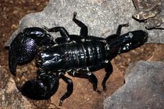 arthropod, animal, scorpion, invertebrate, insect, macro photography, fauna, close-up, wildlife,