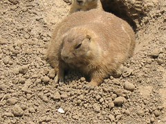 wombat(0.0), pet(0.0), capybara(0.0), animal(1.0), rodent(1.0), prairie dog(1.0), fauna(1.0), marmot(1.0), wildlife(1.0),