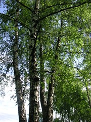 birch, woodland, branch, leaf, tree, sunlight, old-growth forest, grove, forest, trunk, natural environment, biome, temperate broadleaf and mixed forest,