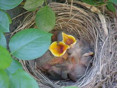 Baby robins - day  3