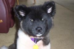 german spitz(0.0), karelian bear dog(0.0), russo-european laika(0.0), east siberian laika(0.0), norwegian elkhound(0.0), greenland dog(0.0), german spitz mittel(0.0), dog breed(1.0), animal(1.0), akita inu(1.0), akita(1.0), dog(1.0), eurasier(1.0), pet(1.0), native american indian dog(1.0), carnivoran(1.0),