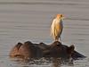 Hippopotamus (Hippopotamus amphibius) & Cattle Egret (Bubulcus ibis)