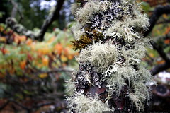 lichen on a sumac tree    mg 2026