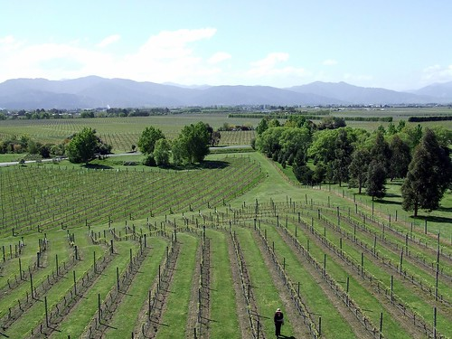 Vines @ Marlborough, New Zealand