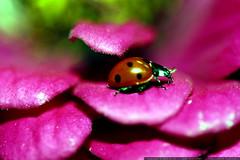 ladybug on a magenta zinnia petal    MG 2839