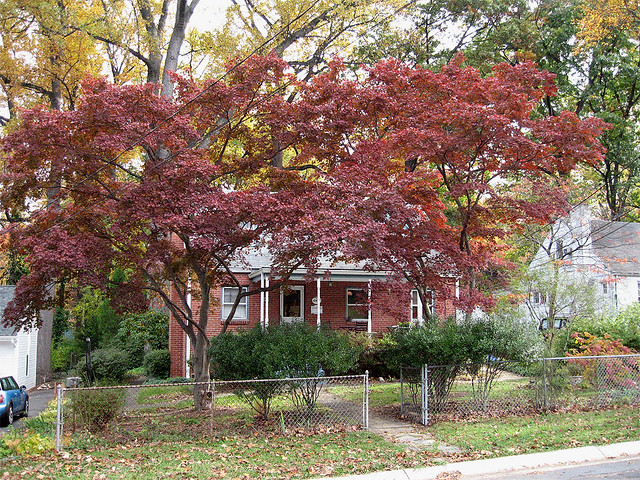 My Front Yard - Japanese Maples | Flickr - Photo Sharing!