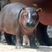 Baby Hippo by andrewhenny