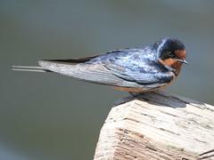 animal, perching bird, wing, nature, fauna, close-up, swallow, beak, bird, wildlife,
