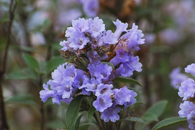 Neelakurinji Flower Flickr Photo Sharing