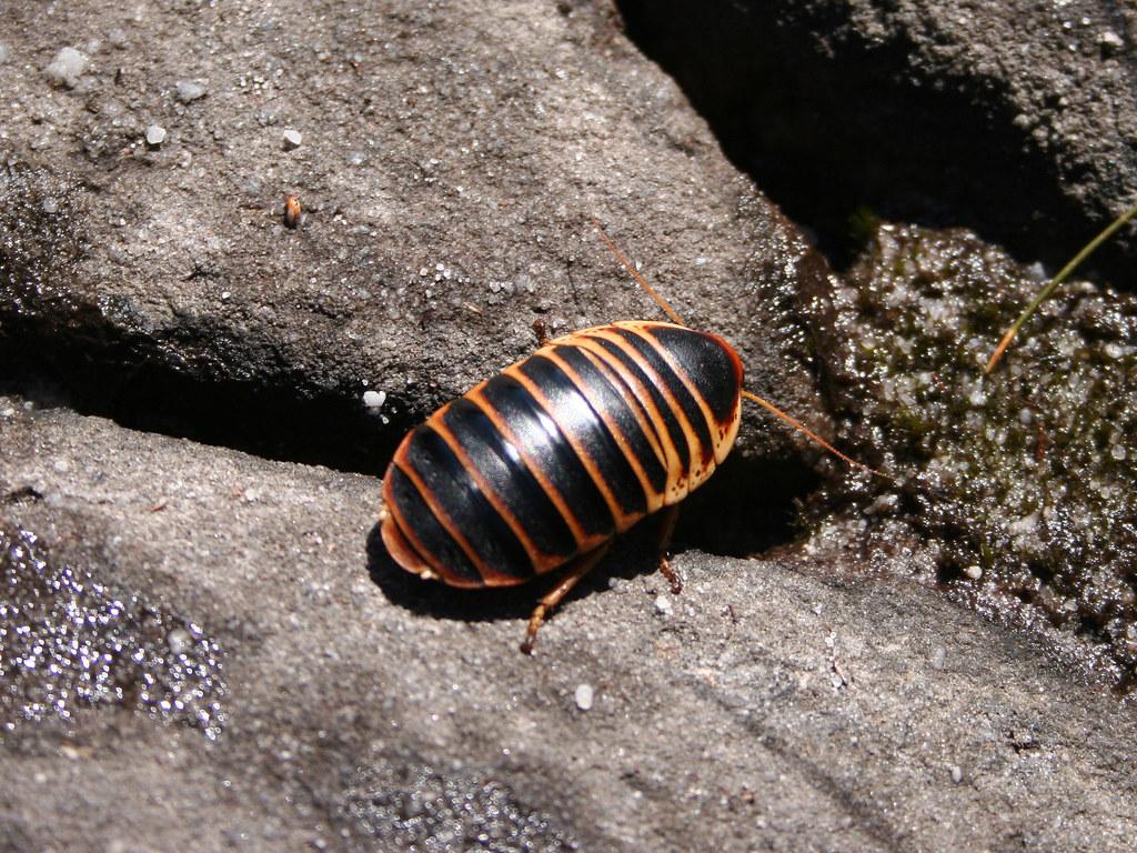 Cape Mountain Cockroach